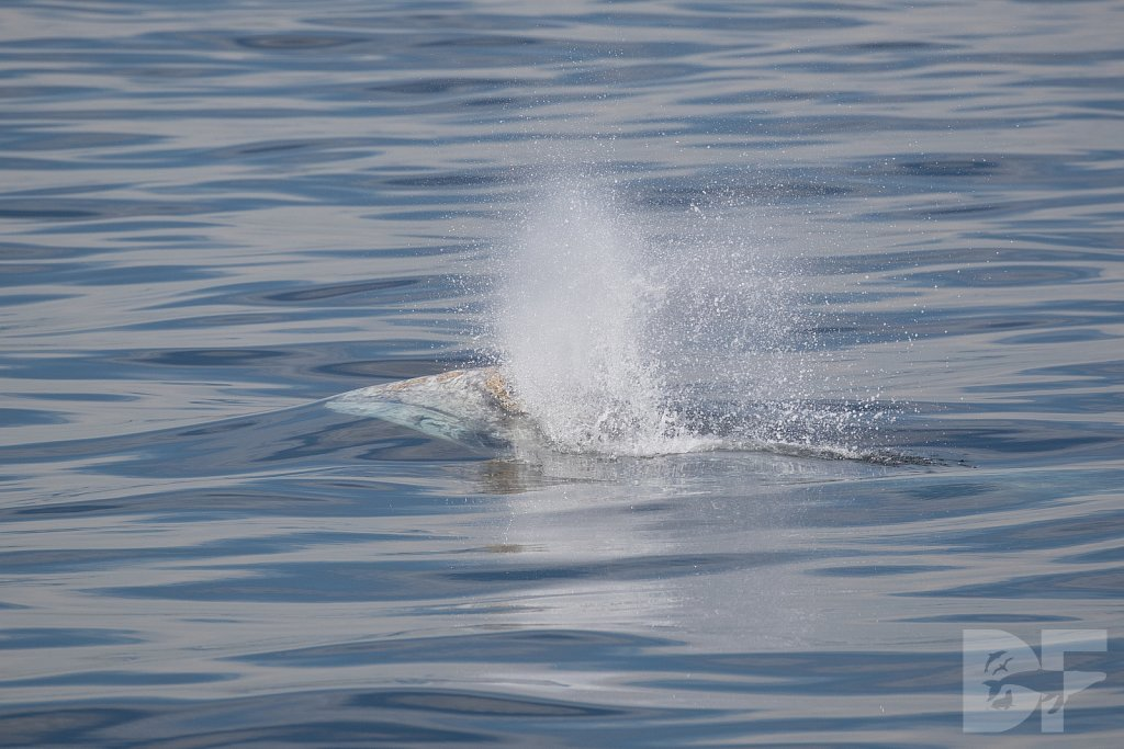 There Go Gray Whales XVII