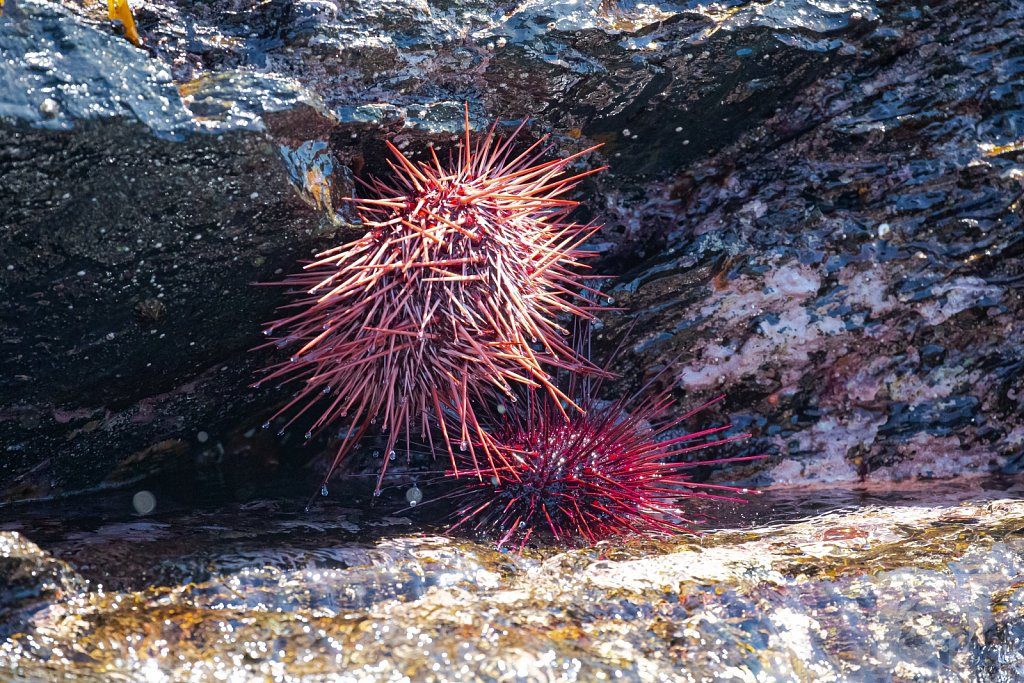 Red Sea Urchin I