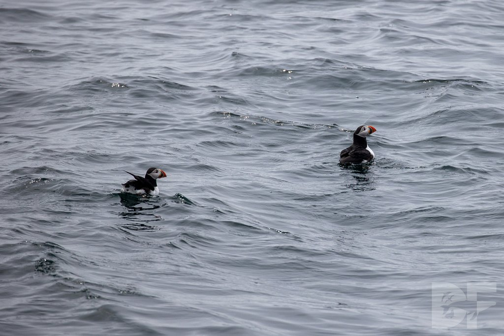 Puffin Party IV