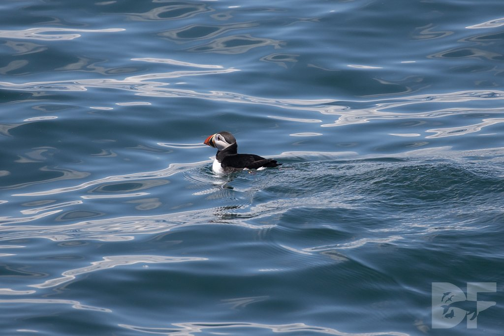 Puffin Party IX