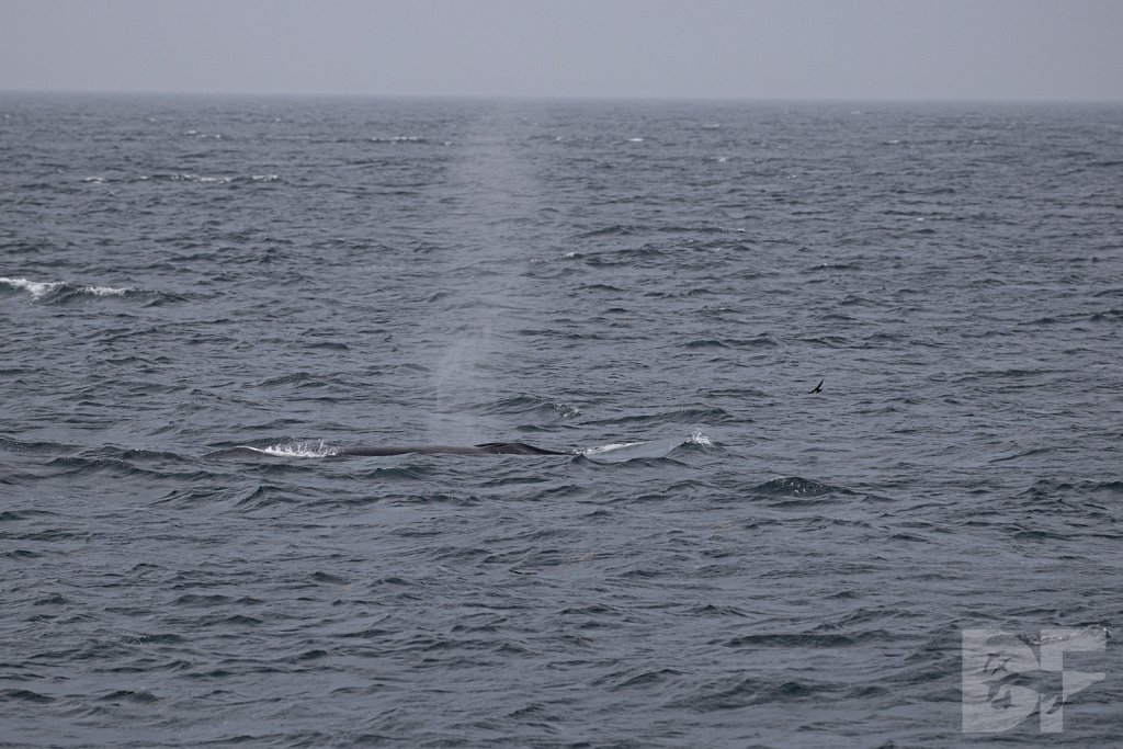 Wilson's Storm Petrel and Fin Whale